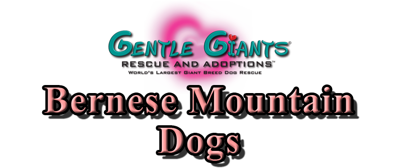 Bernese Mountain Dogs at Gentle Giants Rescue and Adoptions
